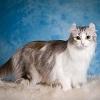 Самые редкие породы кошек. Топ-10 (с фотографиями)