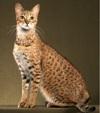 Самые дорогие породы кошек. Топ-18 (с фотографиями)