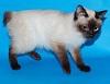 Самые маленькие породы кошек. Топ-10 (с фотографиями)