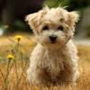 Самые маленькие породы собак. Топ-27 (с фотографиями)