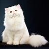 Самые популярные породы кошек. Топ-20 (с фотографиями)