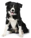 Самые умные породы собак. Топ-26 (с фотографиями)