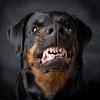 Самые опасные и агрессивные породы собак в мире. 10 фото
