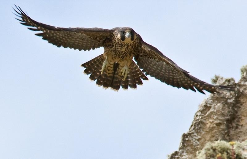сапсан самая быстрая птица в мире. фото