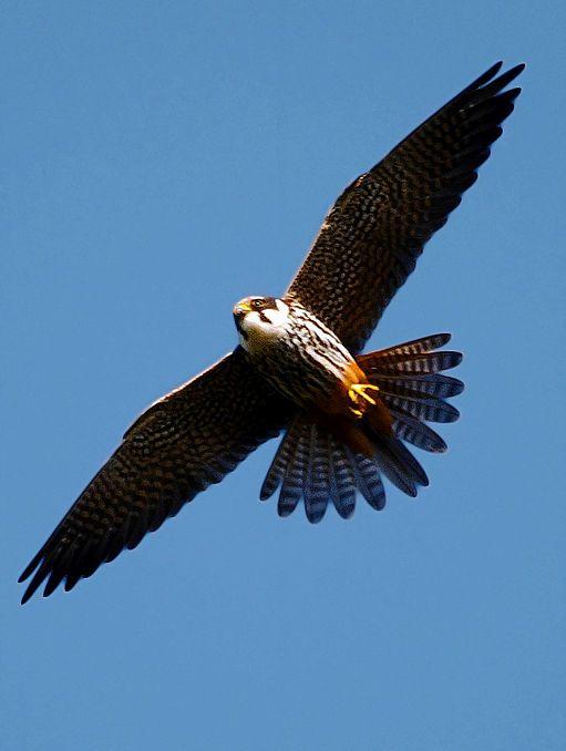 самые быстрые птицы: чеглок. фото