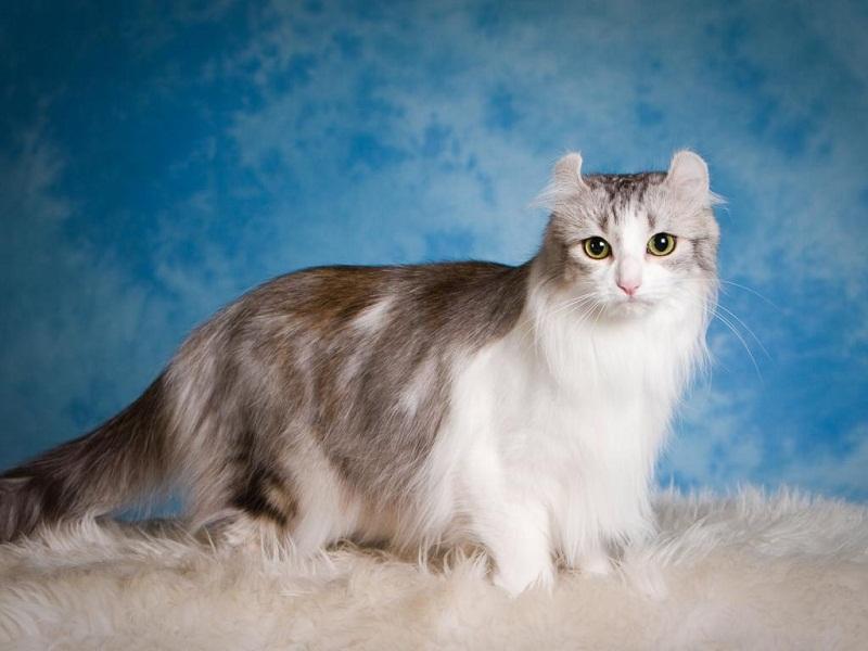 Американский керл, порода короткошерстных и полудлинношерстных кошек. фото