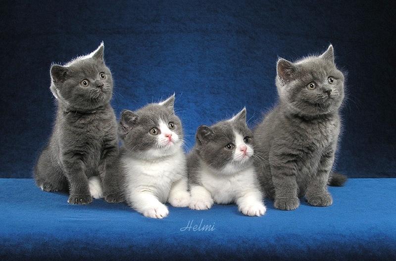 самые дорогие кошки в мире: Британская короткошерстная порода. фото