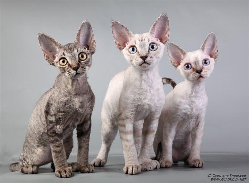 самые дорогие породы кошек: Девон-рекс. фото