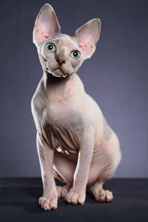 Кошки в мире канадский сфинкс фото