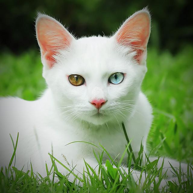 Као-мани, порода кошек тайского происхождения. фото
