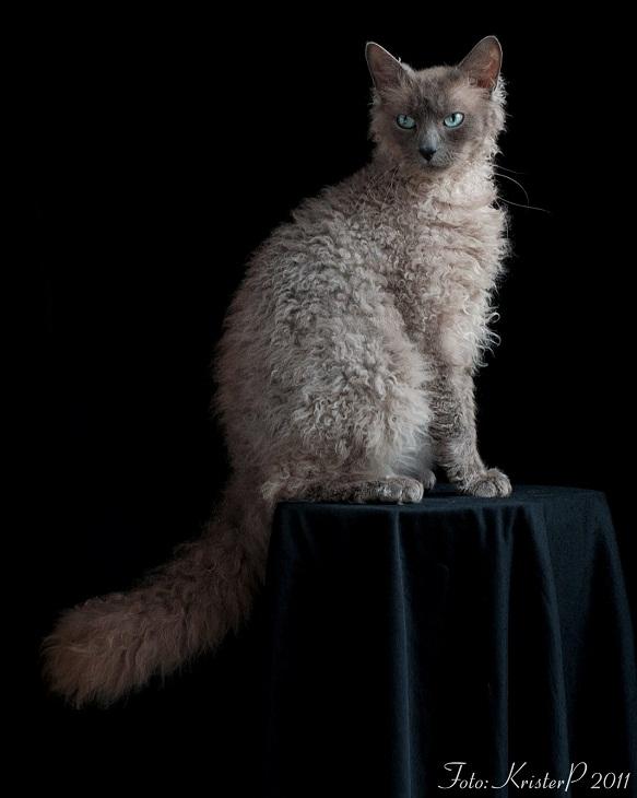 самые дорогие домашние кошки: Лаперм. фото