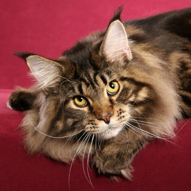 самые-самые породы кошек: Мейн-кун. фото