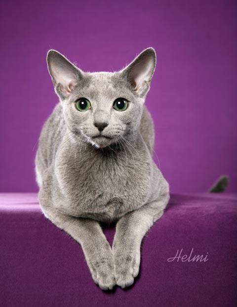 кошка породы Русская голубая. фото