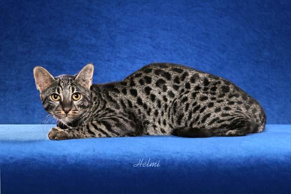 Сафари (порода кошек). фото