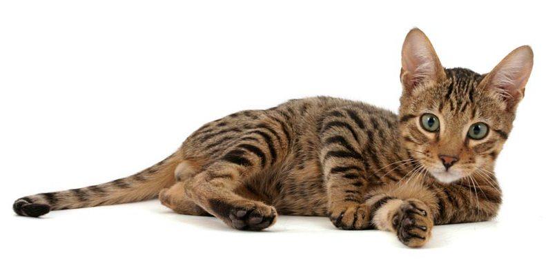 Самые дорогие породы кошек. Топ-10 (с фотографиями) %D0%A1%D0%B5%D1%80%D0%B5%D0%BD%D0%B3%D0%B5%D1%82%D0%B8