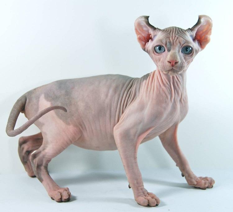 Эльф (порода кошек). фото