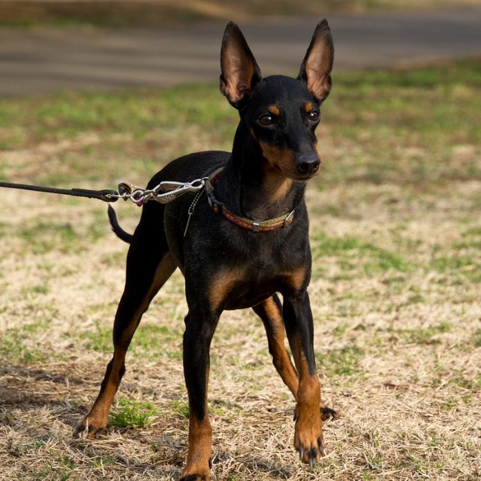 самые маленькие породы собак: Английский той-терьер. фото