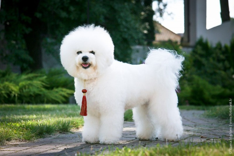 маленькая порода собак Бишон фризе. фото