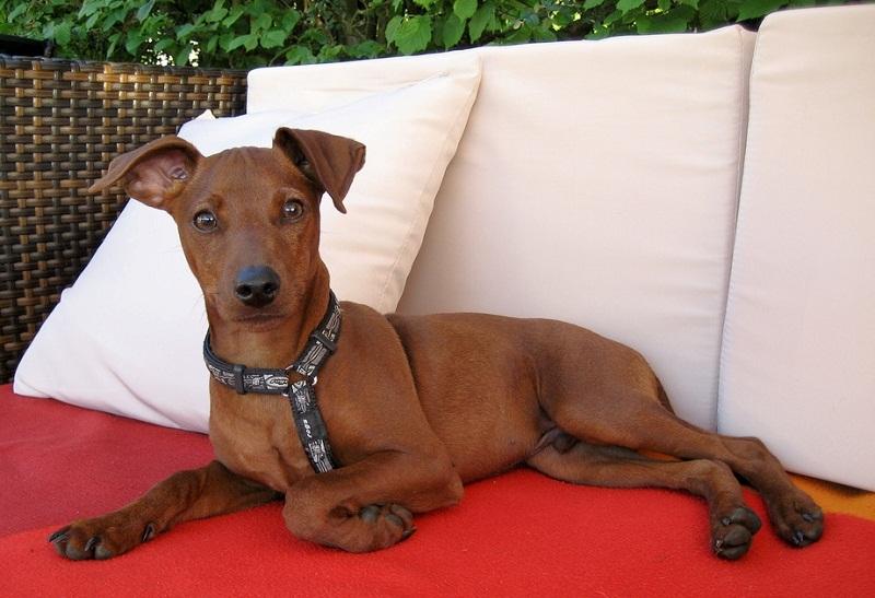 миниатюрная собака породы Карликовый пинчер. фото