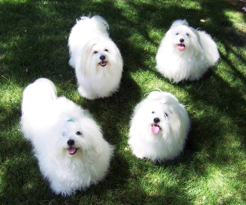 самые маленькие породы собак: Котон де Тулеар. фото