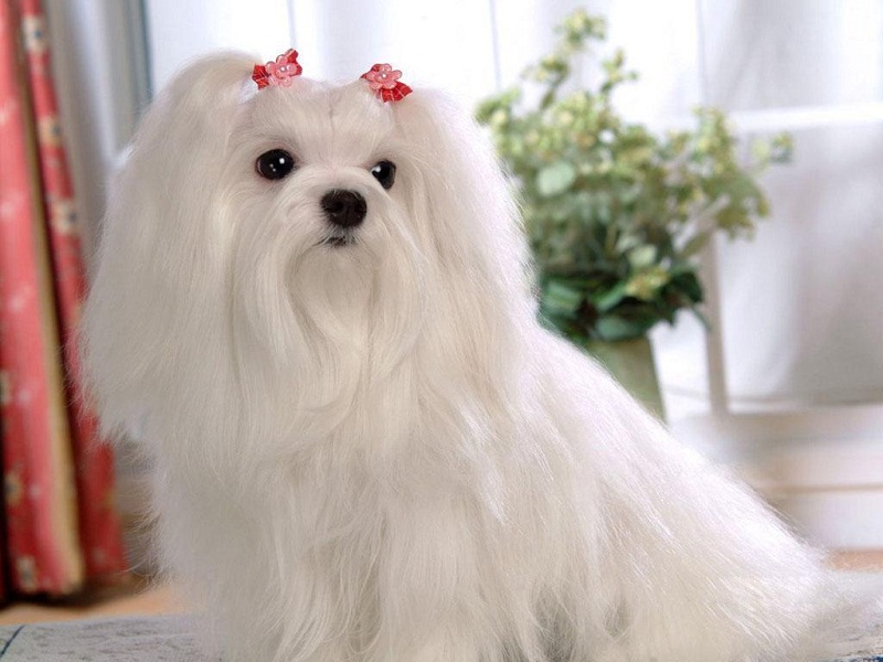 маленькая порода собак Мальтийская болонка (Мальтезе). фото