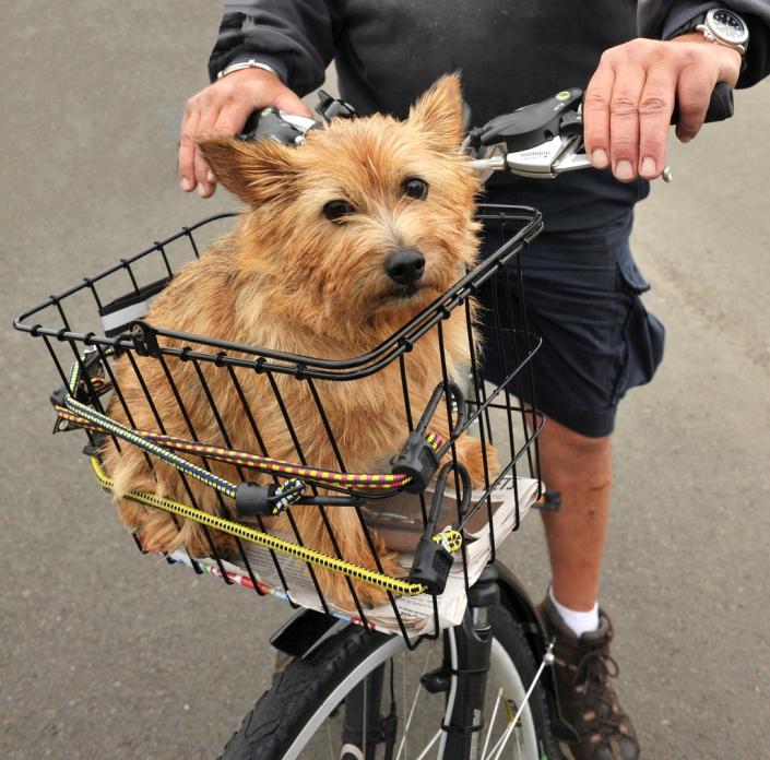 миниатюрная собака породы Норвич терьер. фото