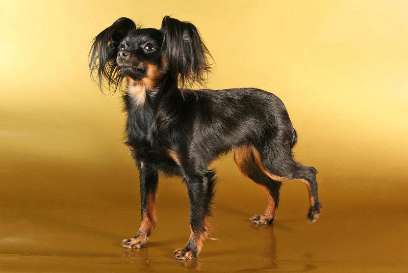 собака маленькой породы Русский той. фото
