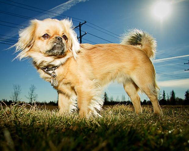 собака породы Тибетский спаниель. фото