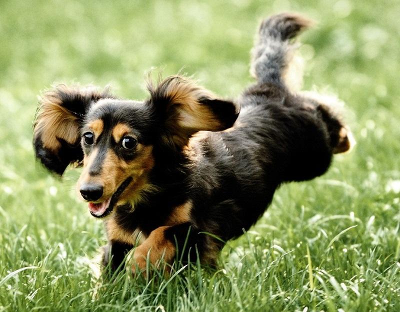 Такса самая низкорослая порода собак