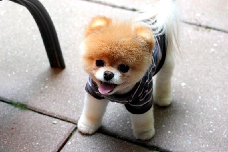 маленькая порода собак Померанский шпиц. фото