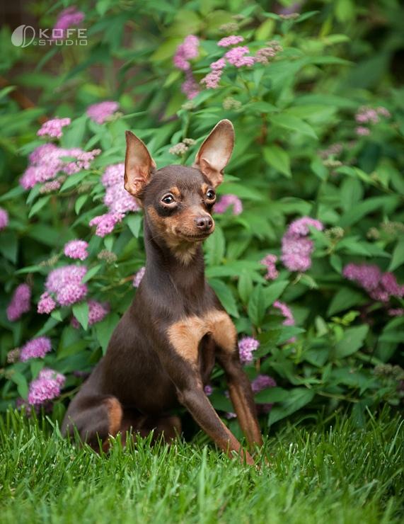 собака маленькой породы Пражский крысарик. фото