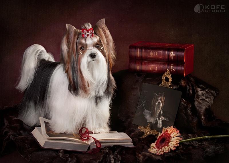 собака породы Бивер йоркширский терьер фото