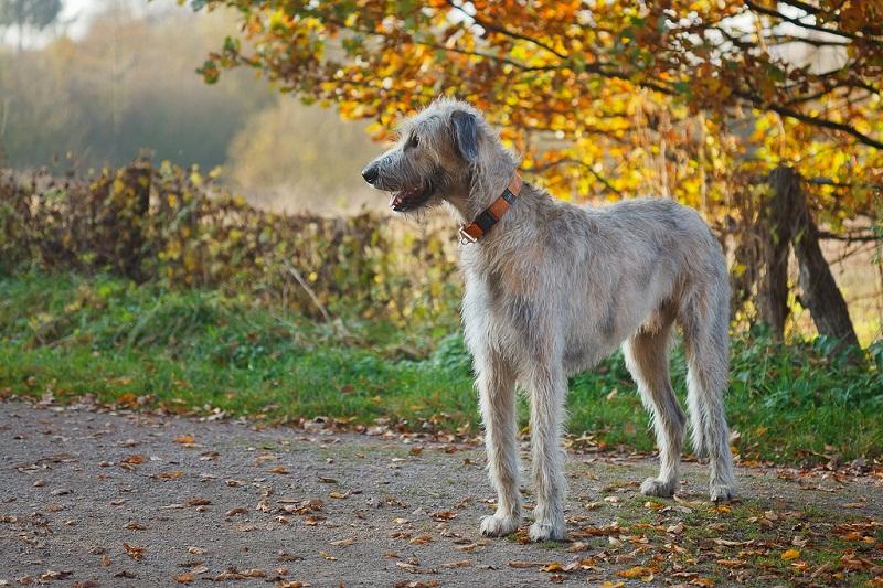 топ самых дорогих собак: Ирландский волкодав фото