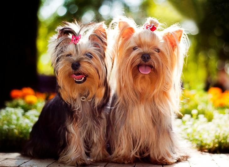 самые дорогие собаки мира: Йоркширский терьер фото