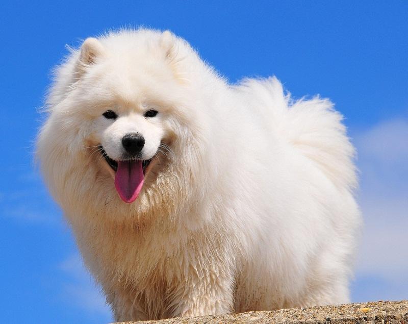 Самоедская собака (самоед) фото