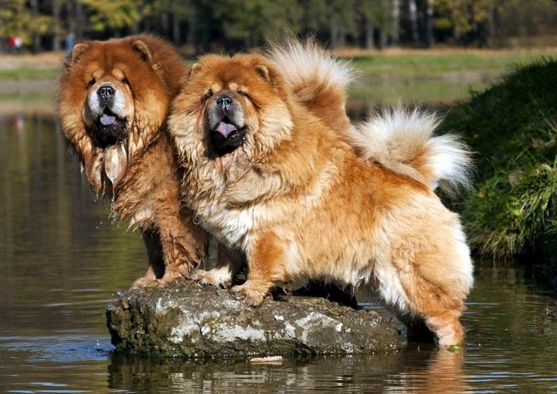 самые дорогие собаки в мире: Чау-чау фото