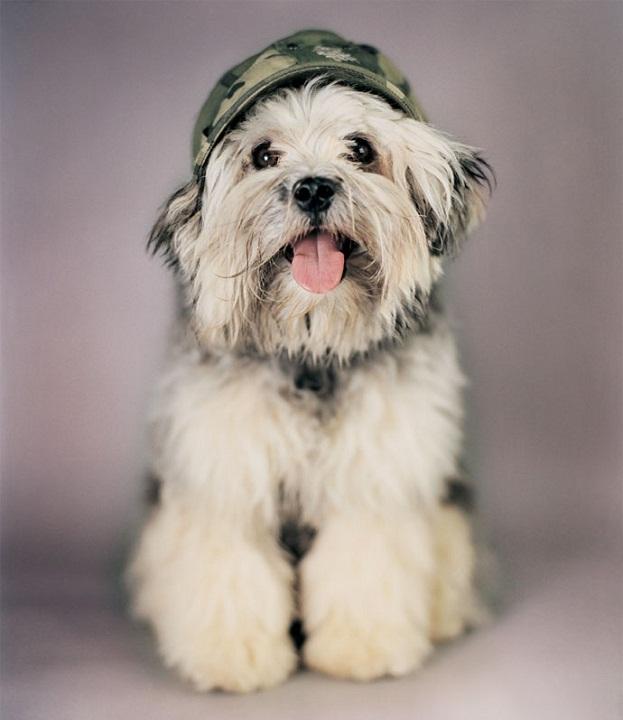 порода Лион бишон, львиная собака, левхен фото