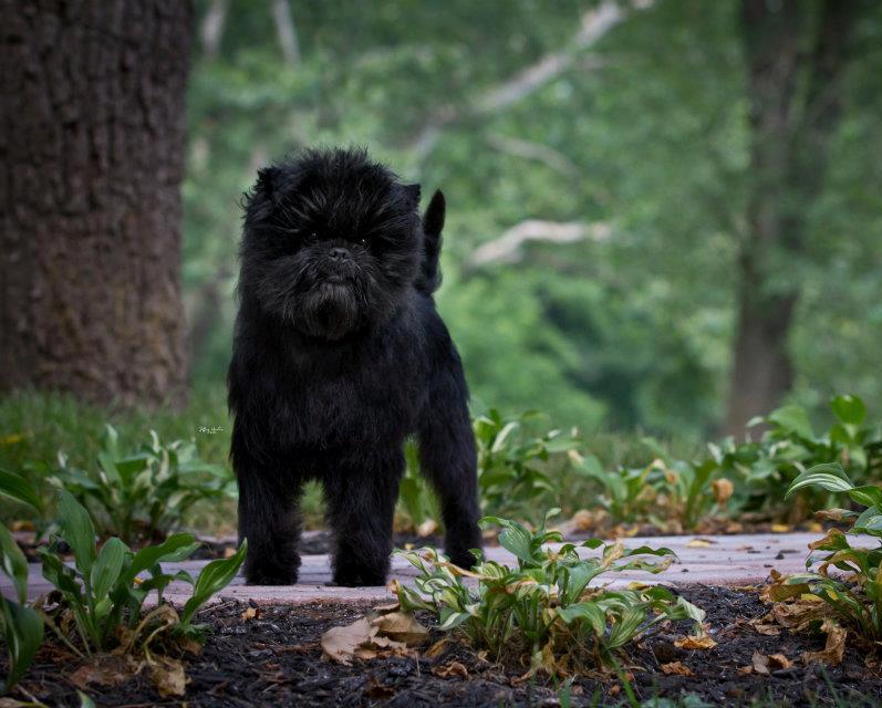 рейтинг самых дорогих собак: Аффенпинчер фото