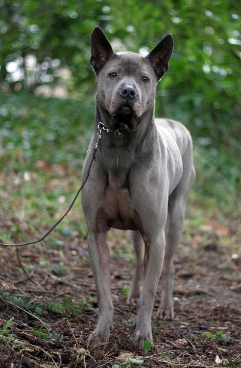 порода собак Тайский риджбек фото
