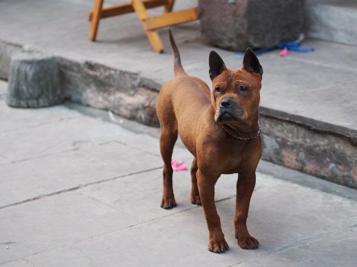 Китайская собака чунцин фото