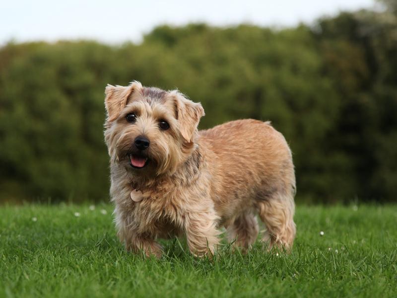 10 самых дорогих пород собак: Норфолкский терьер фото
