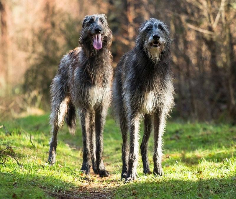 порода большой собаки Дирхаунд (шотландская оленья борзая) фото