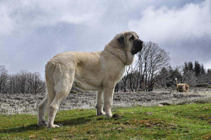 самые крупные породы собак: Испанский мастиф. фото