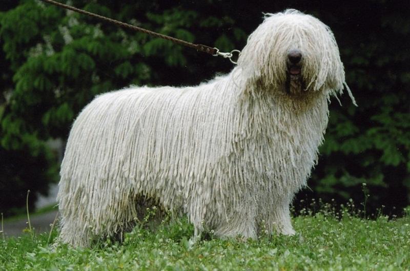 породы очень больших собак: Комондор (венгерская овчарка) фото