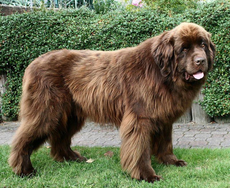 самые большие собаки мира: порода Ньюфаундленд. фото
