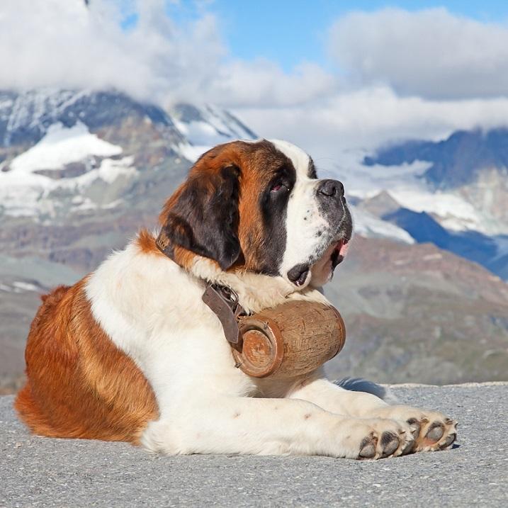 гигантские породы собак: Сенбернар. фото