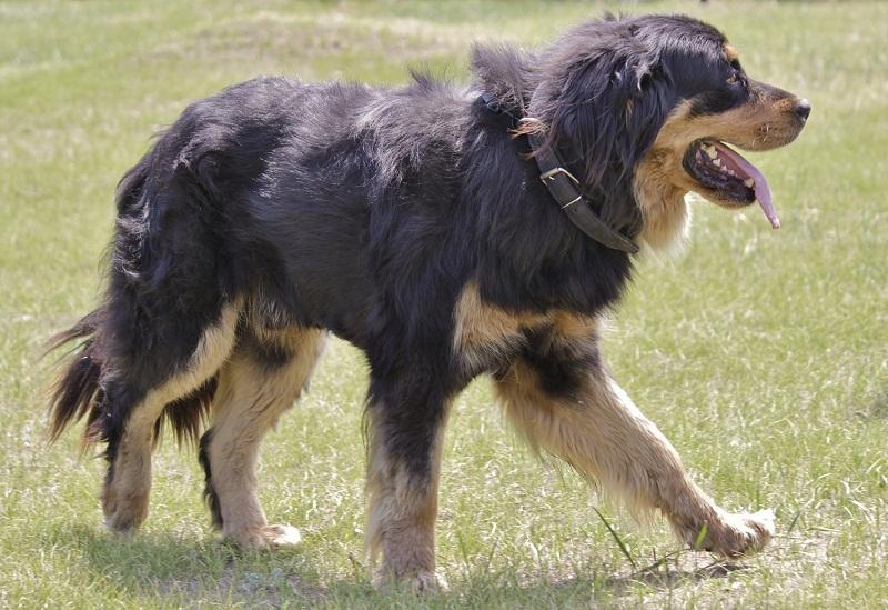 порода собак Бурят-монгольский волкодав / хотошо. фото
