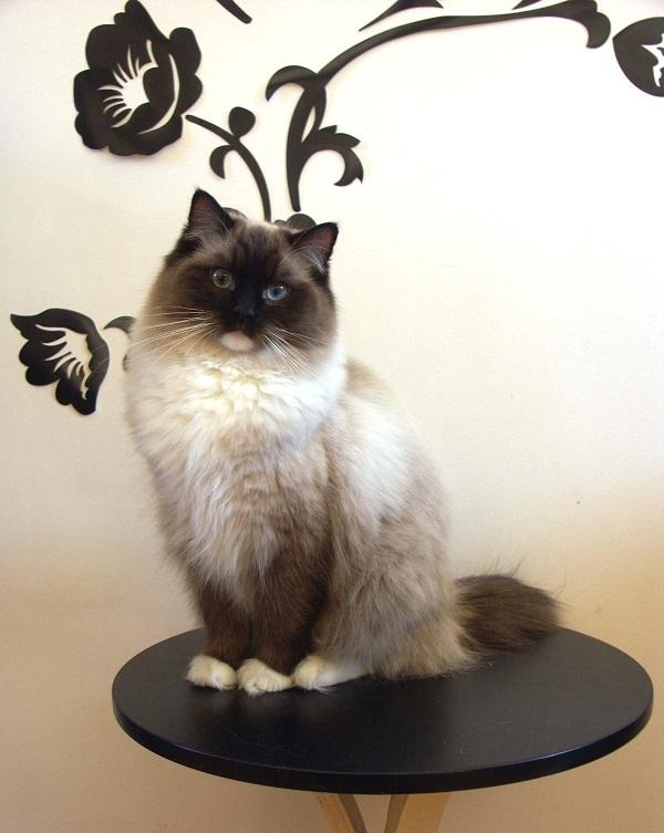 кошки крупных пород фото: Рэгдолл