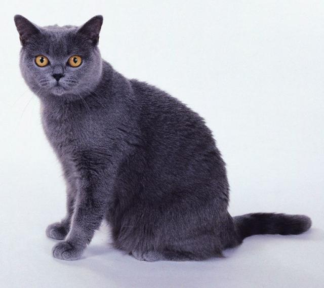 порода кошки большого размера Шартрез