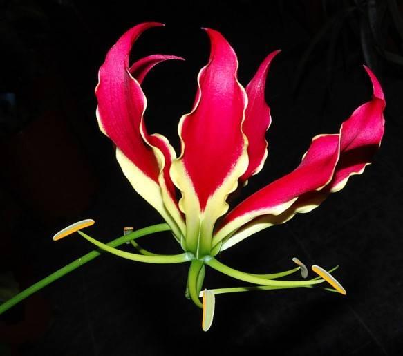 какие самые дорогие цветы: Глориоза